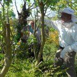 Bienen werden vom Baum abgefegt