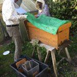 Schwarm wird in Bienenkiste einquartiert