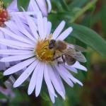 Biene auf einer weißen Blüte