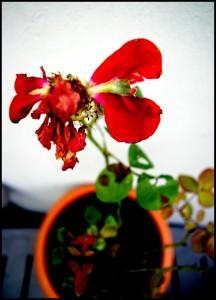verblühte Rose