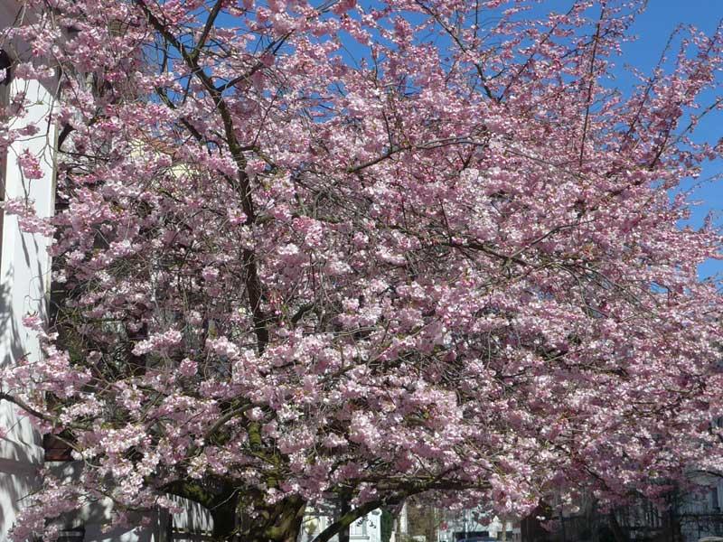 rosa blühender Kirschbaum