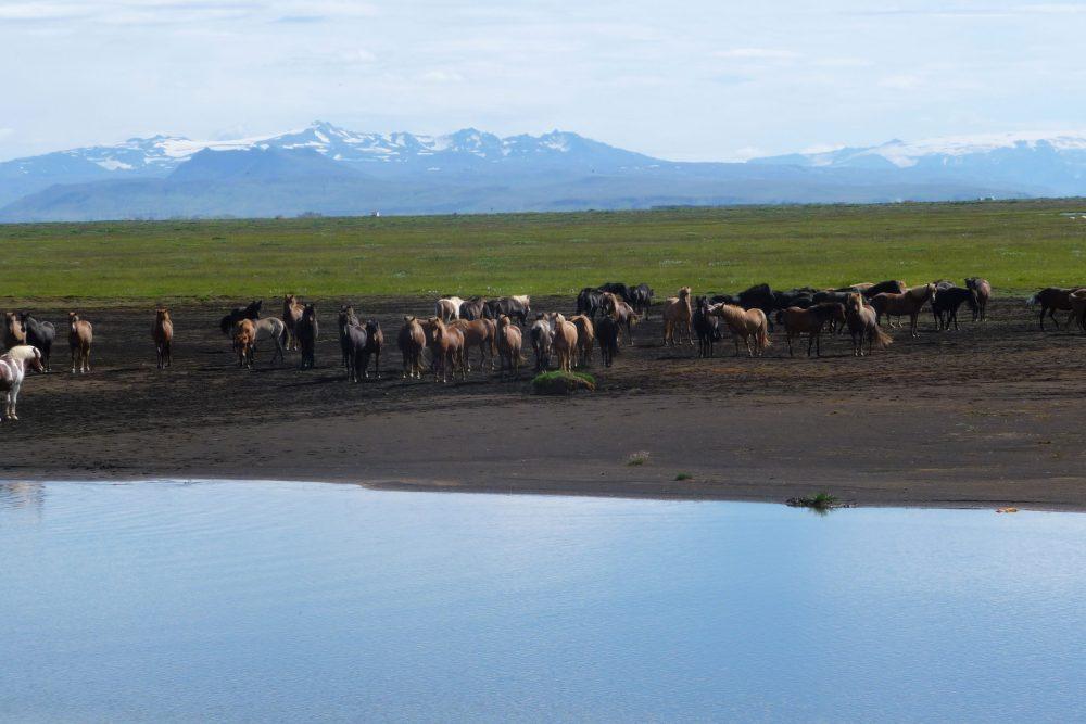 Pferdeherde am See vor einem Vulkan