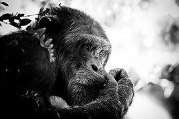 Profilfoto eines Schimpansen, Hintergrund ist verschwommen, im Vordergrund sieht man einen Zweig. Das Foto ist schwarz weiß.