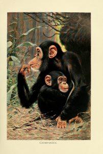 Gemaltes Bild von zwei Schimpansen, wahrscheinlich Mutter und Kind. Im Hintergrund sieht man Dschungel. Das Bild ist mit weißem Papier umrahmt darunter steht Chimpanzee