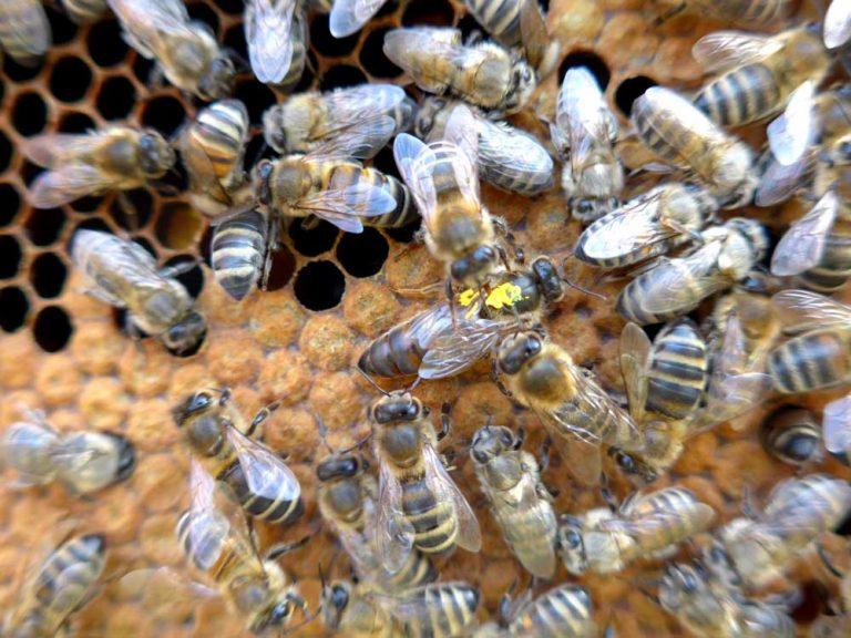 Bienenkönigin umgeben von ihren Pflegerinnen