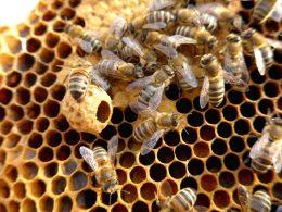 ausgebaute Zelle für Königin, darum einige arbeitende Bienen