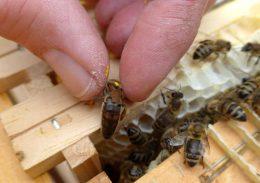 Finger halten Bienenkönigin