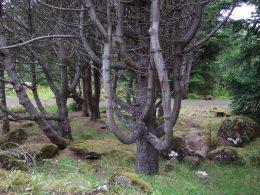 Gebogene Baumstämme im Wald